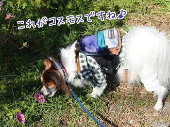 コスモス3.jpg